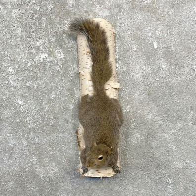 Grey Squirrel Life-Size Mount For Sale #25075 @ The Taxidermy Store