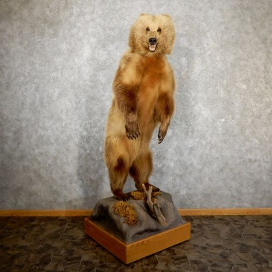 Grizzly Bear Life-Size Mount For Sale #19520 @ The Taxidermy Store