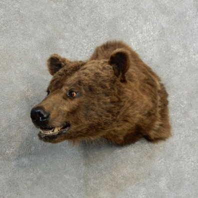 Grizzly Bear Shoulder Mount For Sale #17172 @ The Taxidermy Store