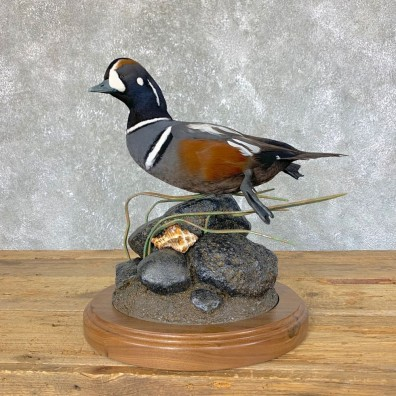 Harlequin Duck Taxidermy Bird Mount For Sale #23731 @ The Taxidermy Store