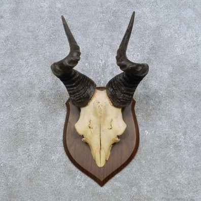 Hartebeest Skull Cap & Horn Mount For Sale #14890 @ The Taxidermy Store