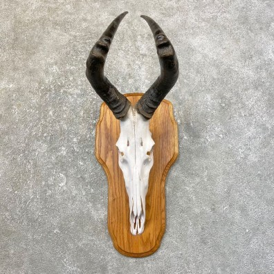 Hartebeest Skull & Horn European Mount For Sale #25167 @ The Taxidermy Store