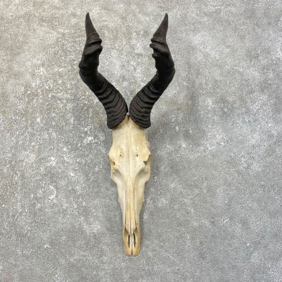 Hartebeest Skull & Horn European Mount For Sale #25170 @ The Taxidermy Store