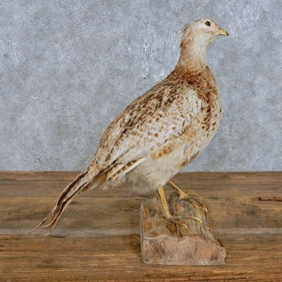 Ringneck Pheasant Hen Bird Mount For Sale #14829 @ The Taxidermy Store