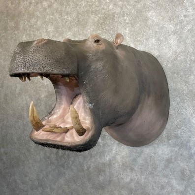 Hippopotamus Shoulder Mount For Sale #24618 @ The Taxidermy Store