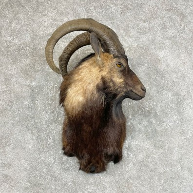 Hybrid Ibex Shoulder Mount For Sale #25434 @ The Taxidermy Store