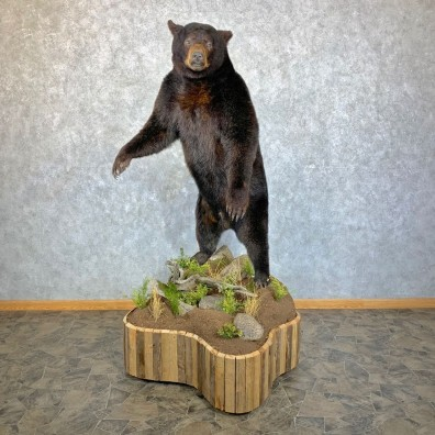 Glacier Bear Life-Size Taxidermy Mount For Sale #23540 - The Taxidermy Store