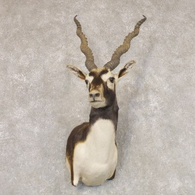 India Blackbuck Shoulder Mount For Sale #22513 @ The Taxidermy Store