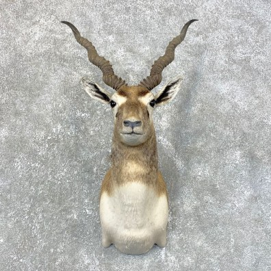 India Blackbuck Shoulder Mount For Sale #23994 @ The Taxidermy Store