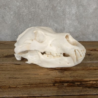 Inland Grizzly Bear Skull Mount For Sale #18897@ The Taxidermy Store