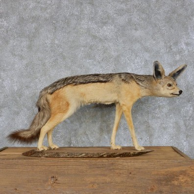Jackal Life-Size Taxidermy Mount #13115 For Sale @ The Taxidermy Store