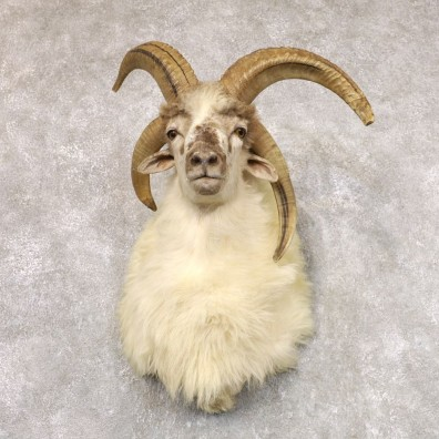 Jacob's Four Horn Taxidermy Mount For Sale #22522 @ The Taxidermy Store