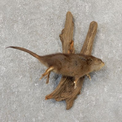 Juvenile Muskrat Life Size Taxidermy Mount #21110 For Sale @ The Taxidermy Store