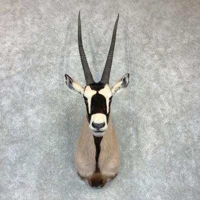 Kalahari Gemsbok Oryx Shoulder Mount For Sale #23135 @ The Taxidermy Store