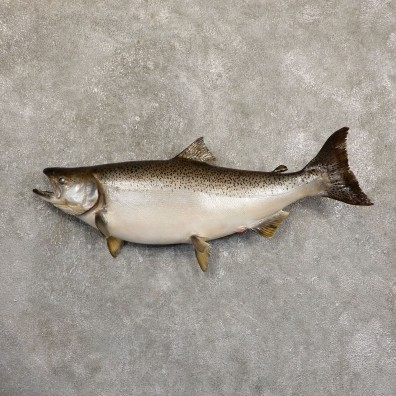 King Salmon Fish Mount For Sale #19705 @ The Taxidermy Store