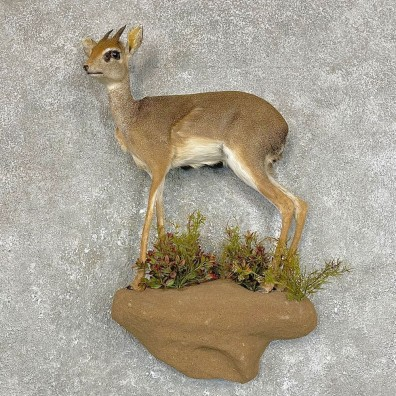 Kirk's Dik-Dik Life-Size Mount For Sale #24210 @ The Taxidermy Store