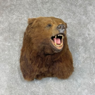 Kodiak Brown Bear Shoulder Mount For Sale #25320 @ The Taxidermy Store
