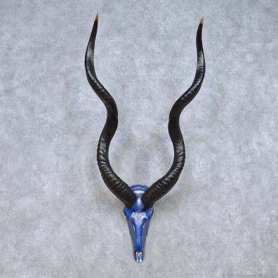 Kudu Painted Skull Horn Taxidermy Mount For Sale #13998 @ The Taxidermy Store