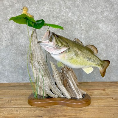 Largemouth Bass Fish Mount For Sale #24745 @ The Taxidermy Store