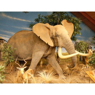 African Elephant Life Size Reproduction Taxidermy Mount #R7036 For Sale @ The Taxidermy Store