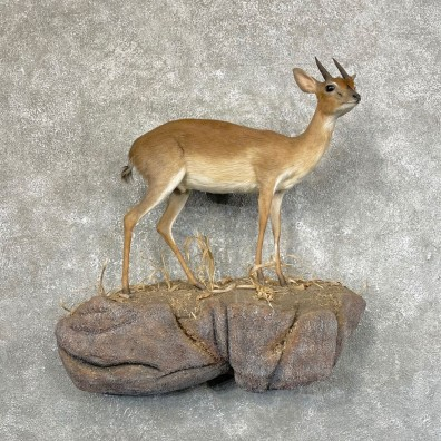 Livingstone Suni Antelope Life-Size Mount For Sale #24611 @ The Taxidermy Store