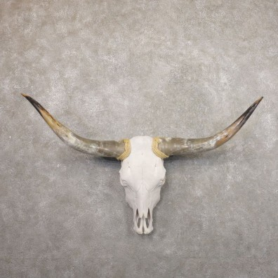 Longhorn Steer Skull European Mount For Sale #22187 @ The Taxidermy Store