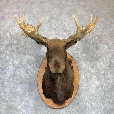 Maine Moose Shoulder Mount For Sale #23149 @ The Taxidermy Store