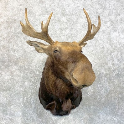 Maine Moose Shoulder Mount For Sale #23871 @ The Taxidermy Store