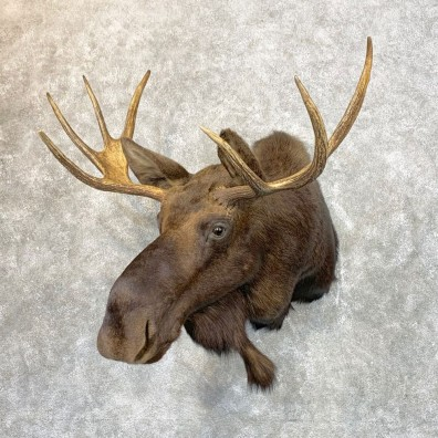 Maine Moose Shoulder Mount For Sale #23958 @ The Taxidermy Store