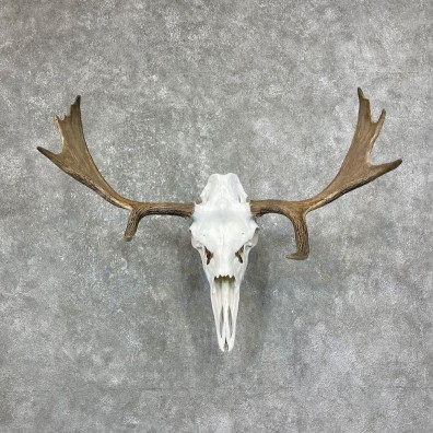 Maine Moose Skull European Mount For Sale #25238 @ The Taxidermy Store