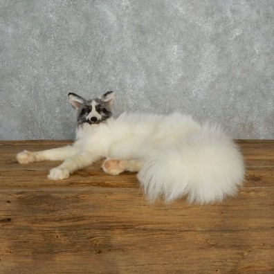 Marbled Fox Life-Size Mount For Sale #17828 @ The Taxidermy Store