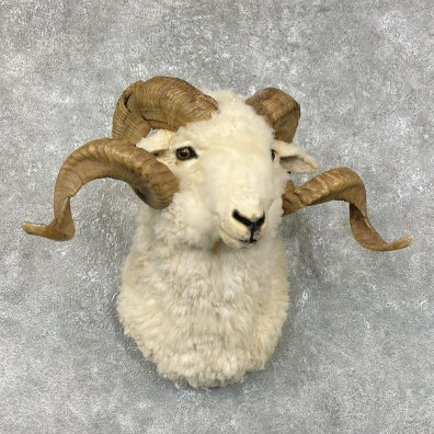 Merino Sheep Mount For Sale #25325 @ The Taxidermy Store