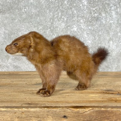 Mink Life-Size Taxidermy Mount For Sale #25461 @ The Taxidermy Store