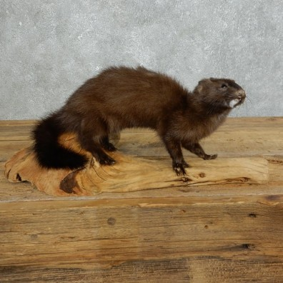 Mink Life-Size Taxidermy Mount For Sale #18268 @ The Taxidermy Store