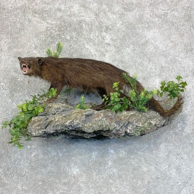 Mongoose Life-Size Mount For Sale #23600 @ The Taxidermy Store