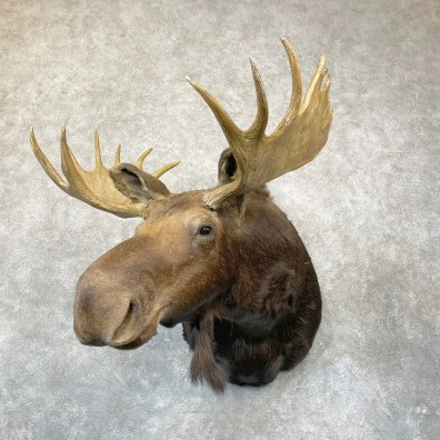 Montana Shiras Moose Shoulder Taxidermy Mount #24750 For Sale @ The Taxidermy Store