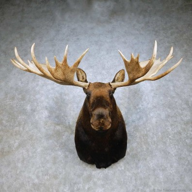 Moose Shoulder Mount For Sale #14907 @ The Taxidermy Store