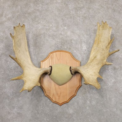 Moose Antler Plaque For Sale #22350 @ The Taxidermy Store