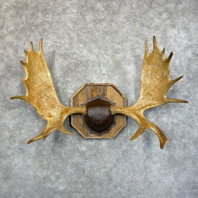 Moose Antler Plaque For Sale #24593 @ The Taxidermy Store