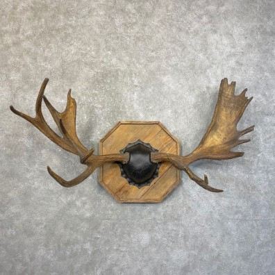Moose Antler Plaque For Sale #24613 @ The Taxidermy Store