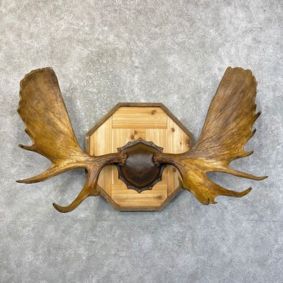 Moose Antler Plaque For Sale #24614 @ The Taxidermy Store