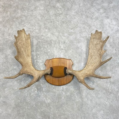 Moose Antler Plaque For Sale #25069 @ The Taxidermy Store