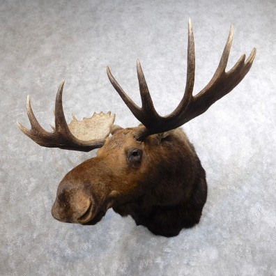 Moose Shoulder Mount For Sale #18643 @ The Taxidermy Store
