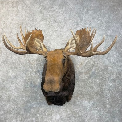 Moose Shoulder Mount For Sale #25063 @ The Taxidermy Store