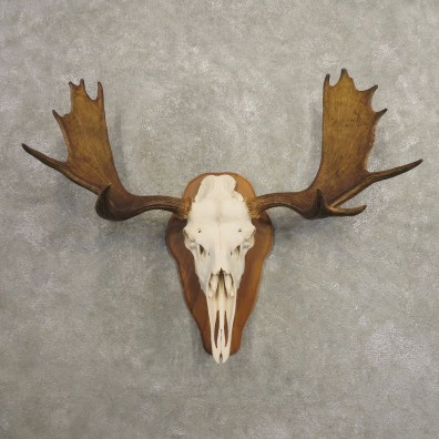 Moose Skull European Mount For Sale #20489 @ The Taxidermy Store