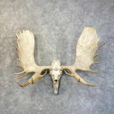 Moose Skull European Mount For Sale #25143 @ The Taxidermy Store