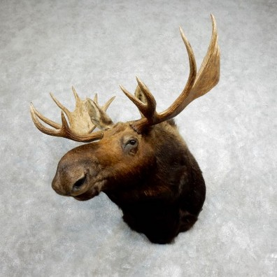 Moose Shoulder Mount For Sale #17975 @ The Taxidermy Store
