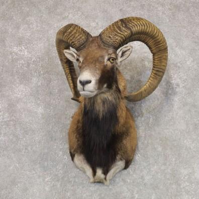 Mouflon Ram Shoulder Mount For Sale #22514 @ The Taxidermy Store
