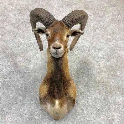 Mouflon Ram Shoulder Mount For Sale #23124 @ The Taxidermy Store