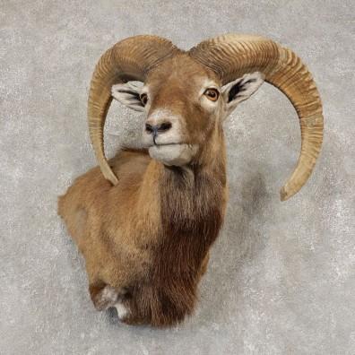 Mouflon Ram Wall Pedestal Mount For Sale #21449 @ The Taxidermy Store